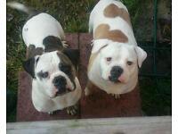 Two american johnson bulldogs for sale