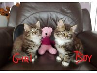 Gorgeous fluffy kittens looking for new home ))))