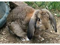2 x french lop rabbits