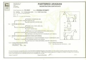 ARABIAN/SADDLEBRED YEARLING GELDING - PEORIA SYGNIFY