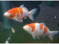 Large koi pond fish