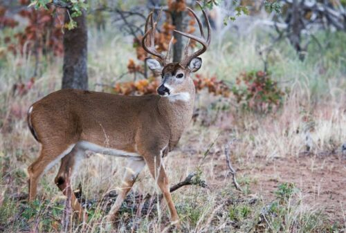 Whitetail Buck Hunt in the Texas Hill Country at The Wildlife Ranch 2021 Season