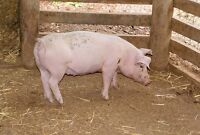 5 month old Weaner Pig