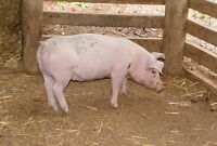 5 month old weaner sow pig