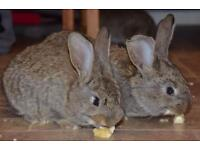 Continental giant rabbits for reserve