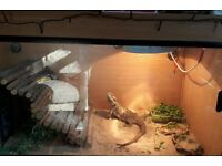 Female breaded dragon and vivarium for sale