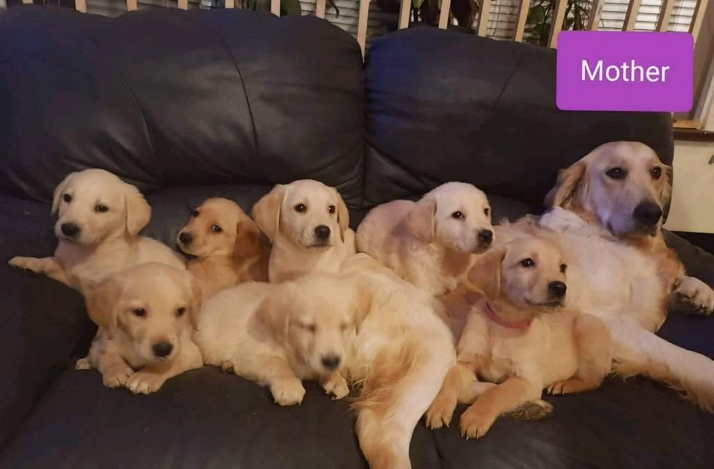 Gorgeous Golden Retriever X Labrador Puppies In Sandwell West