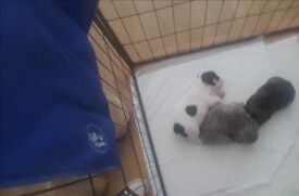 KC QUALITY FRENCH BULLDOG PUPPYS MUM AND DAD HEALTH TESTED WITH ANIMAL GENETICS ALL CLEAR