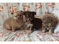 Tiny chihuahua longhair puppies chocolate bitch puppy kc very small fluffy dog girl little poppet