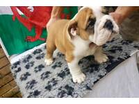 SEALAVILLE PUPPIES FOR SALE **READY TO LEAVE** KC REGISTERED