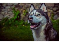 Beautiful Siberian Husky Girl