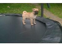 kc pug puppy £700