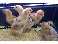 goldline chicks, chickens , female