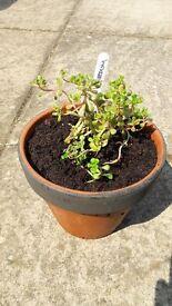 Painted terracotta pot of Sedum (Oreganum) evergreen perennial plant