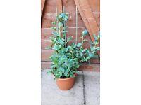 1 very large pot of Cerinthe (Purple) perennial plant