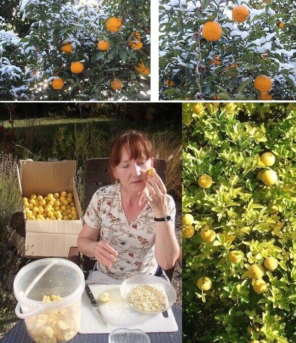 2 winterharte Orange-Palmen schnellwüchsige exotische Pflanzen im für den Garten