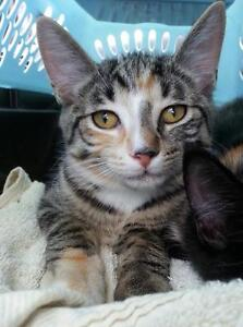 "Young Female Cat - Domestic Short Hair: ""Tiger Kitty"""