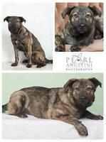 "Young Female Dog - Shepherd-Boxer: ""Cubby"""