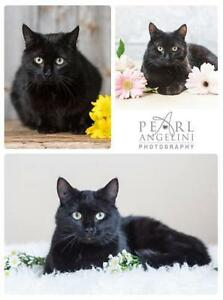 "Adult Female Cat - Domestic Short Hair: ""Mrs Claws"""