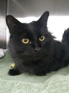 "Adult Male Cat - Domestic Medium Hair: ""Ace"""