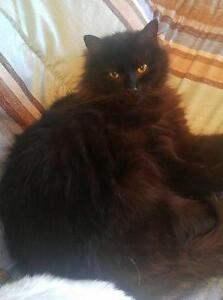 "Adult Male Cat - Domestic Long Hair-black: ""Cinder"""
