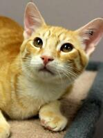 """Baby Male Cat - Domestic Short Hair-Tabby: """"Jammie"""""""