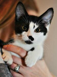 """Baby Male Cat - Domestic Short Hair: """"Scout"""" Strathcona County Edmonton Area image 3"""