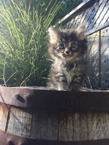 Adorable Purebred Registered Siberian Kittens