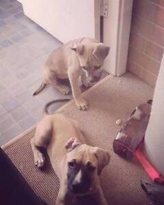 Looking to rehome my beautiful 5 month old puppy, Staffy x kelpie Perth Perth City Area Preview