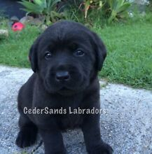 Pure bred Labrador puppies registered with papers Woolgoolga Coffs Harbour Area Preview