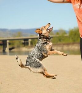 Calling all heeler lovers!