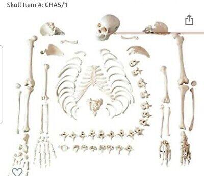 Disarticulated Human Skeleton. Full Anatomical 62model