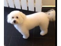 Bichon pup coming up for 6months old