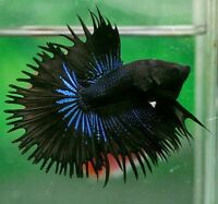 Looking for different kinds of crowntail betta fish.