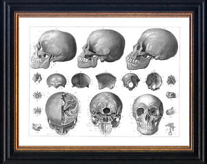 framed picture anatomy print skeleton medical pictures prints anatomical skulls