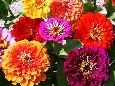 Buy best plants for cut flowers - California Giant Mix Zinnia Profussion Of  Huge Flowers 50+ Great Cut Flowers