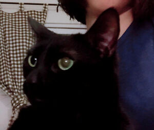 2-year old sterilized and needled male cat-Shadow for adoption