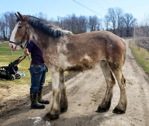 Registered Clydesdale Filly