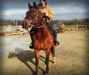 Standardbred/Quarter Horse Cross Gelding