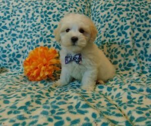 Nonshedding MaltiPoo Baby Boys!!