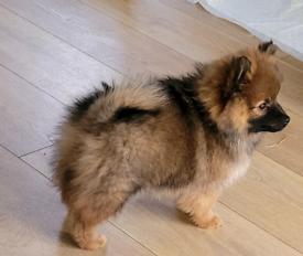 🌟Stunning Pomeranian Boy