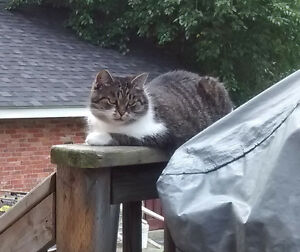 Cat missing since Oct.6 in Maxwell and Hillary area Sarnia Sarnia Area image 1