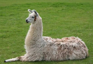 WANTED!! Pet Llama Schofields Blacktown Area Preview