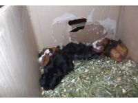 YOUNG GUINEA PIGS LOOKING FOR NEW HOMES