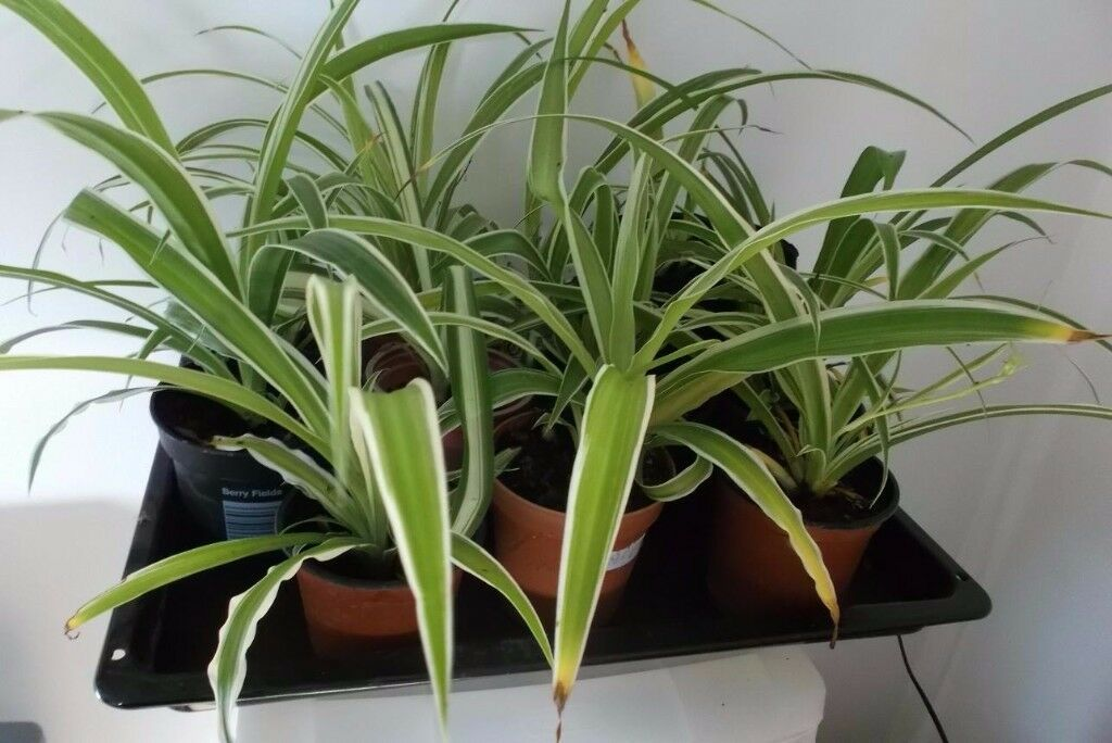 Spider plant - indoor plant in small pot