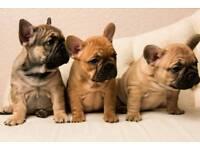 2 girls and 2 boys French bulldog puppy