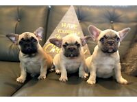 Fantastic frenchies for sale