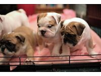 English Bulldog puppys,READY NOW,SHOW potential,KC registered, 20 champions bloodline