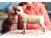 Gorgeous female chihuahua for sale