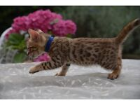 Pure pedigreed registered Bengal kittens